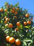 sevilla oranges